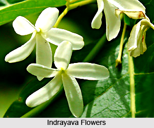 Indrayava, Indian Medicinal Plant