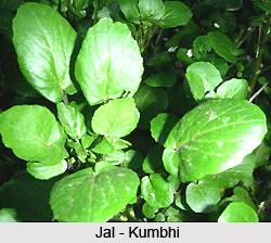 Jal-kumbhi, Indian Herb