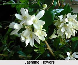 Jasmine Tree, Indian Medicinal Plant