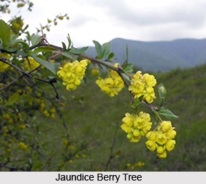 Jaundice Berry , Indian Plant