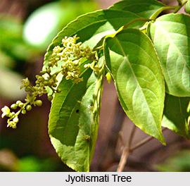 Jyotismati, Indian Medicinal Plant