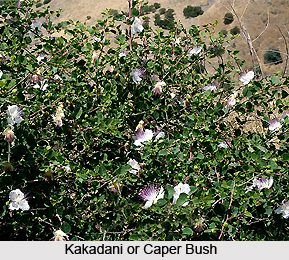 Kakadani, Indian Medicinal Plant