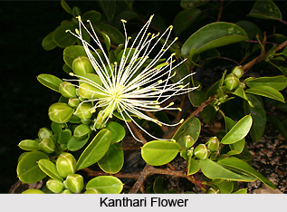 Kanthari, Indian Medicinal Plant