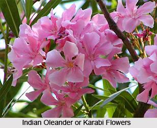 Karabi,  Indian oleander, Indian Medicinal Plant