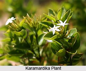 Karamardika, Indian Medicinal Plant