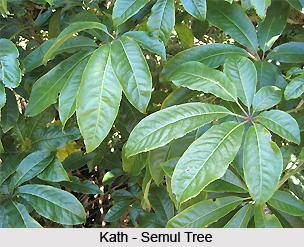 Kath-Semul, Indian Medicinal Plant