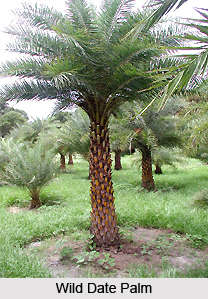 Kharjuri, Wild Date Palm, Indian Medicinal Plants