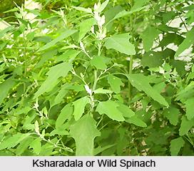 Ksharadala, Wild spinach, Indian Medicinal Plant