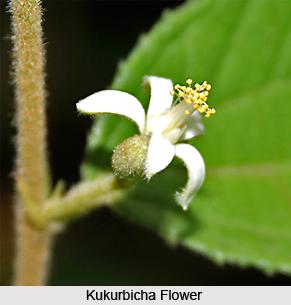 Kukurbicha, Indian Medicinal Plant