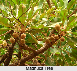Madhuca, Indian Plant