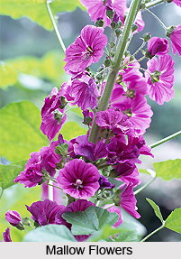 Mallow, Indian Herb
