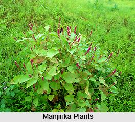 Manjirika , Indian Medicinal Plant