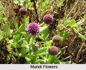 Mundi, Indian Medicinal Plant