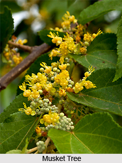 Musket Tree, Indian Medicinal Plant
