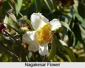 Nagakesar, Indian Medicinal Plant