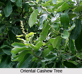 Oriental Cashew Tree, Indian Medicinal Plant