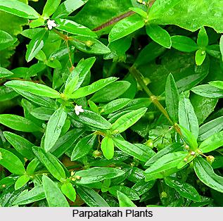 Parpatakah, Indian Medicinal Plant