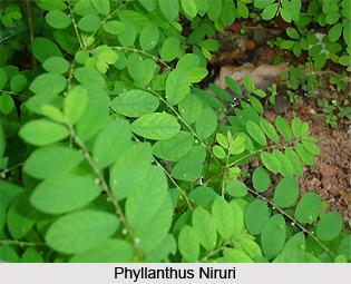 Phyllanthus/ Niruri , Indian Herb