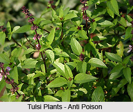 Poisons cured by Tulsi