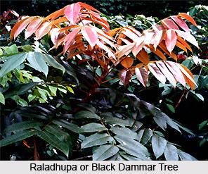 Raladhupa, Indian Medicinal Plant