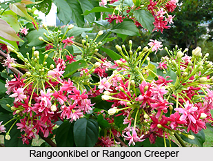 Rangoonkibel, Indian Medicinal Plant