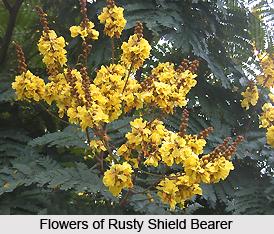 Rusty Shield Bearer , Indian Plant