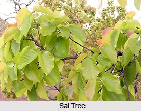Sala, Indian Medicinal Plant