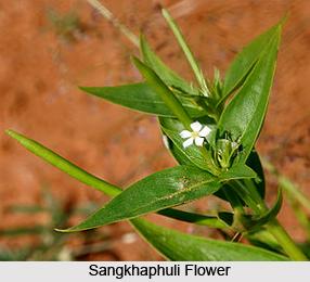 Sangkhaphuli, Indian Medicinal Plant