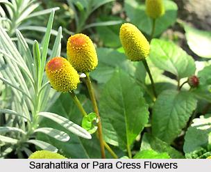 Sarahattika, Indian medicinal Plant