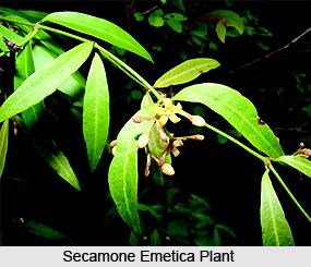 Secamone emetica, Indian Medicinal Plant