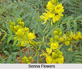 Senna , Indian Plant