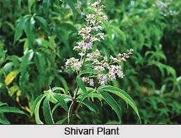 Shivari, Indian Medicinal Plant