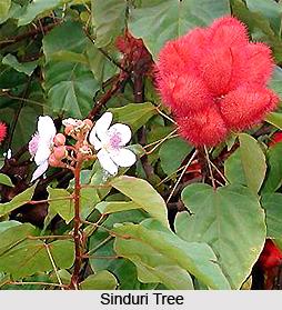 Sinduri, Indian Medicinal Plant