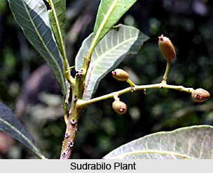Sudrabilo, Indian Medicinal plant