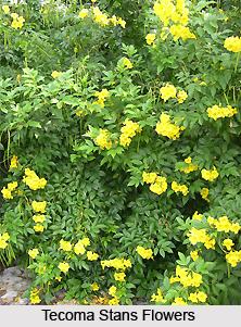 Tecoma stans, Indian Medicinal Plants