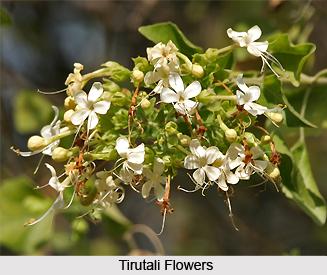 Tirutali, Indian Medicinal Plant