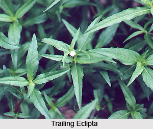 Trailing Eclipta, Indian Plant