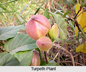 Turpeth, Indian Plant