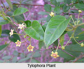 Tylophora , Indian Herb