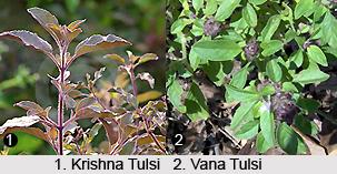 Types of Tulsi