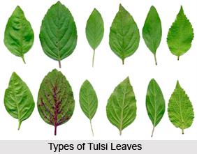 Types of Tulsi  Plants