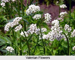Valerian, Indian Herb