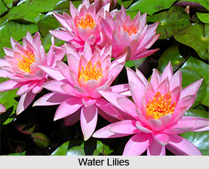 Water Lily, Indian Aquatic Plant