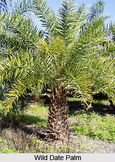 Wild Date Palm , Indian Plant