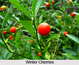 Winter Cherry, Indian Herb