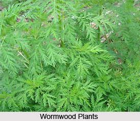 Wormwood, Indian Herb