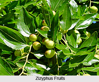 Zizyphus, Indian Herb