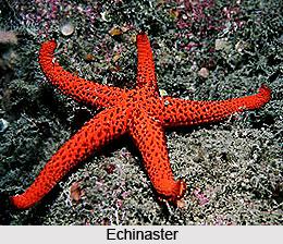 Starfish, Indian Marine Species