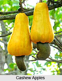 Kajutaka, Indian Medicinal plant