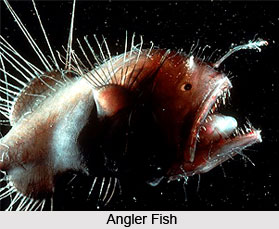Angler Fish, Indian Marine Species